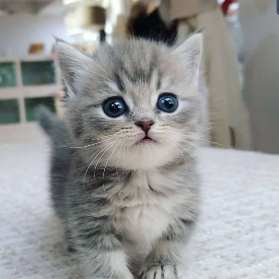 Munchkin kittens with for sale