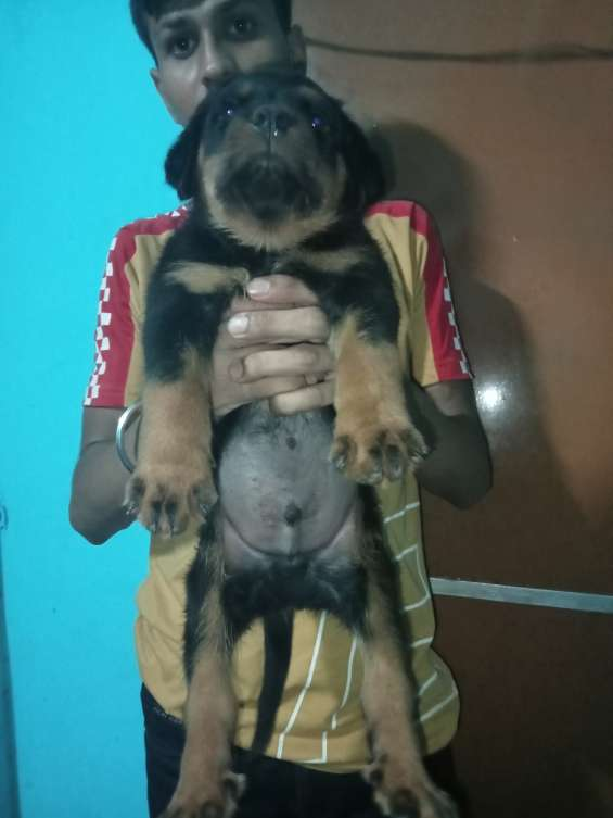 Top quality rottweiler male puppy available 9971818186